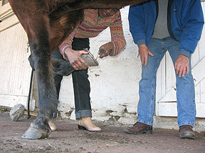 cleaning hoofs 2