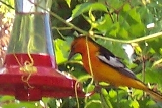 oriole at HB feeder