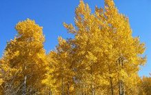 grand_teton_national_park_aspens4.jpg