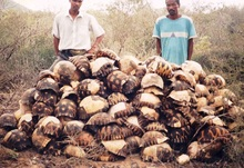 Piles of tortoise shells are all that remains after illegal poaching of these endangered creatures found only in the dry,spiny forests of souther...
